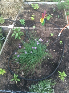 Front R Bed: Chives are blooming (scapes!) & the scallop squash are in the ground and starting to take off...