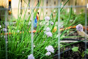 Chive scapes/blooms