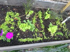 lettuce pike's nursery raised bed petunia