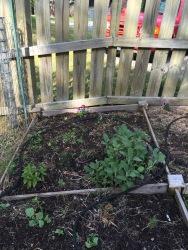 squash bugs scallop garden georgia borage dill sage